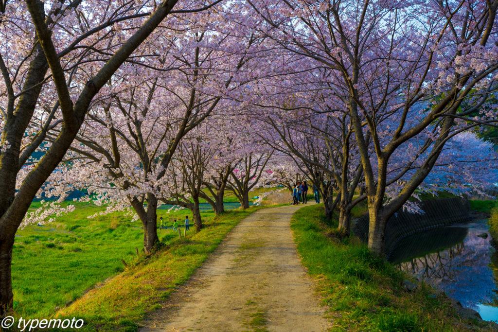 対馬 鶏知 桜並木