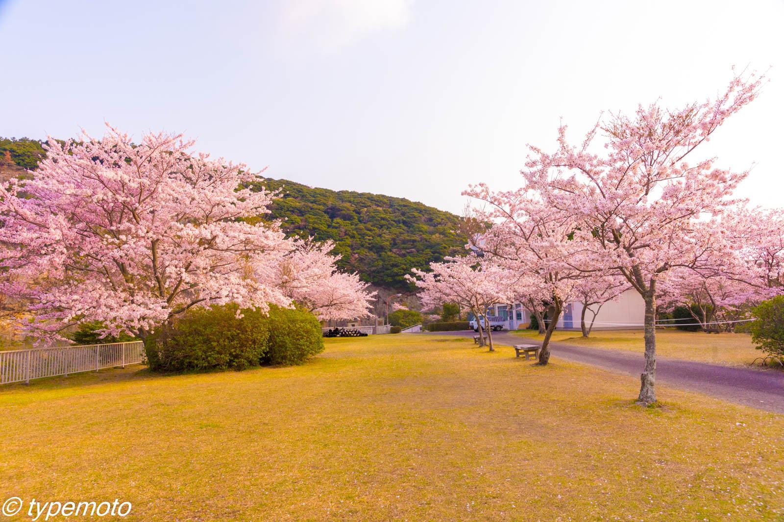 対馬 鶏知ダム 桜