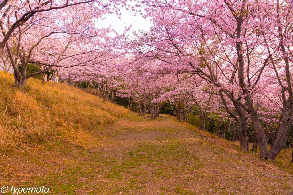 鶏知ダムの桜