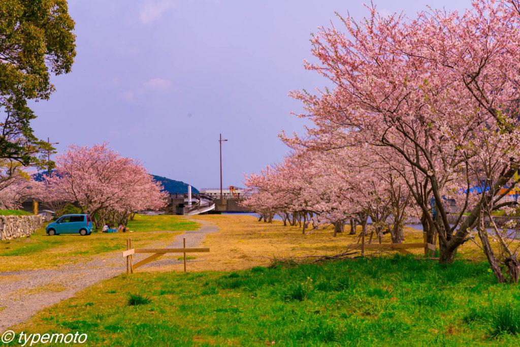 対馬 お船江 桜