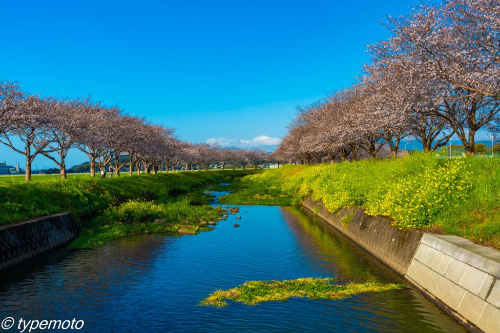 草場川桜並木