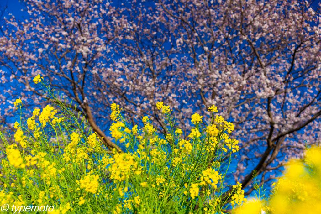 草場川 菜の花 桜