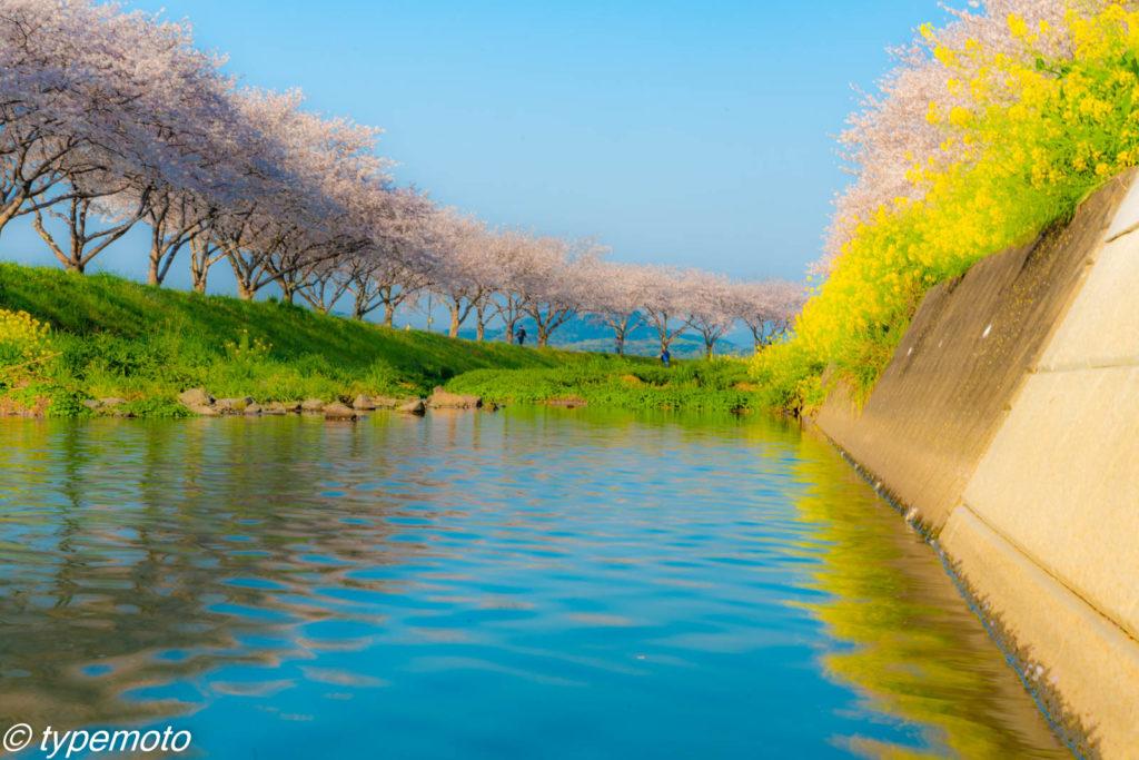 草場川桜並木 水面