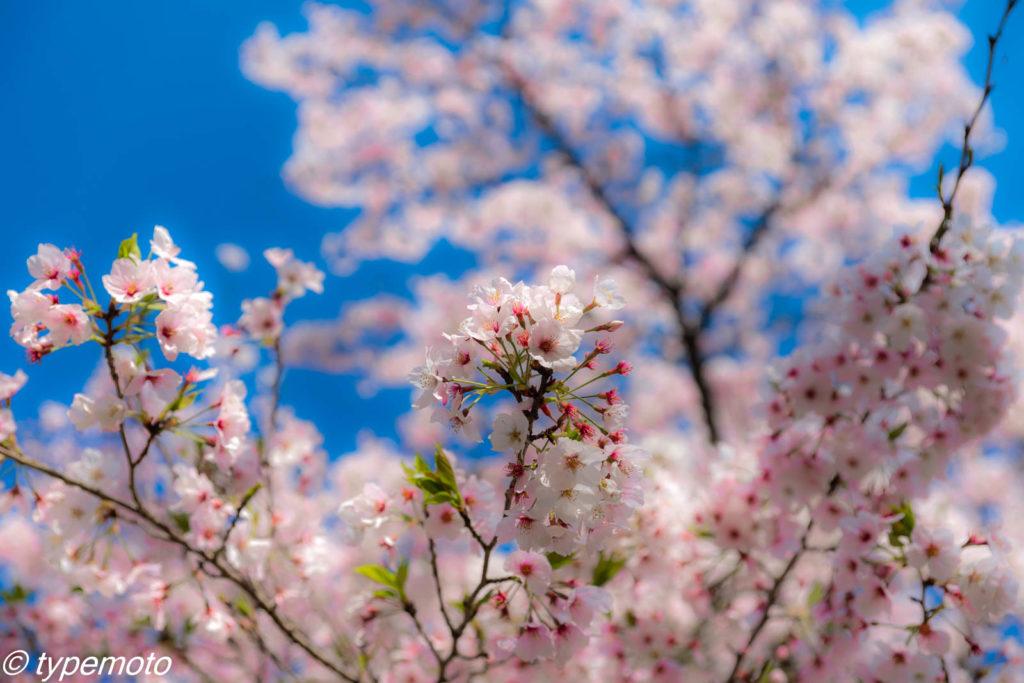 竈門神社 桜
