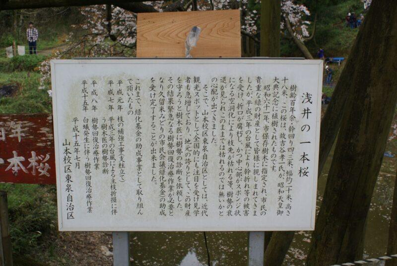 浅井の一本桜 説明