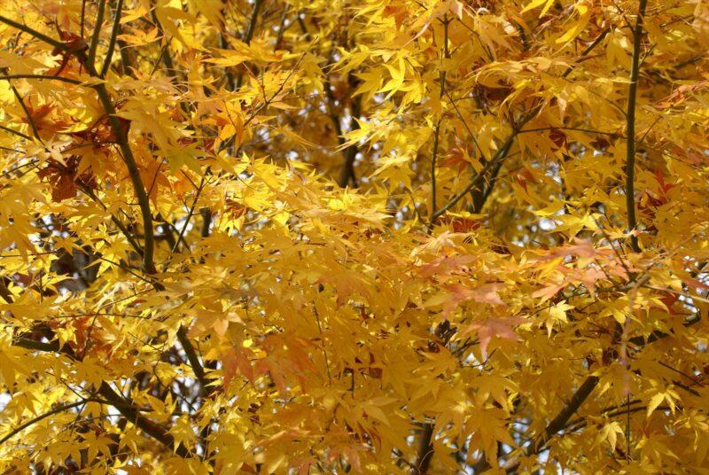 山鳥の森オートキャンプ場 紅葉