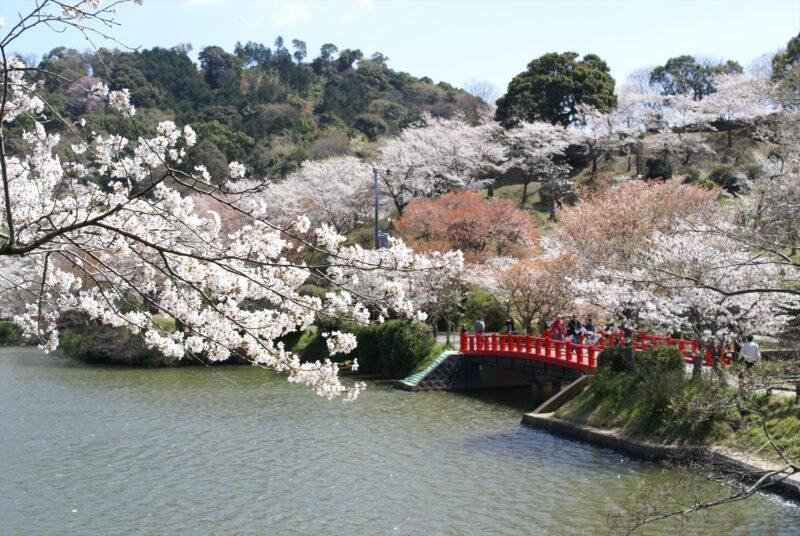 甘木公園 桜