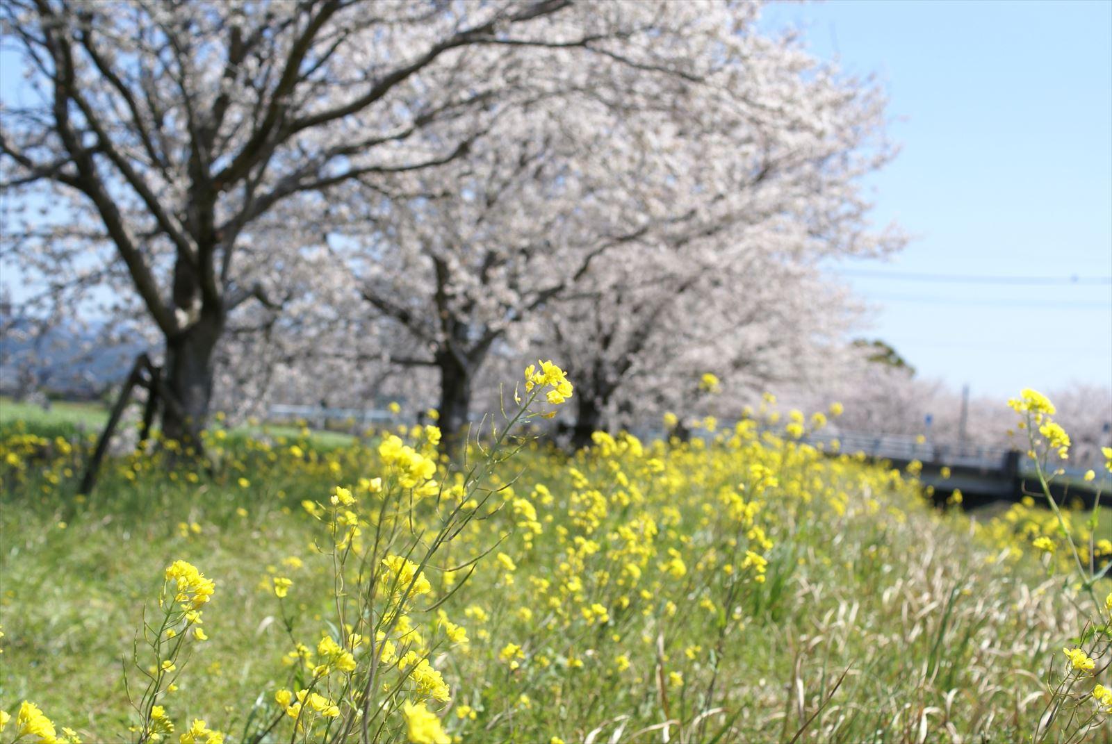 草場川 菜の花