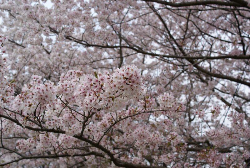 都府楼跡 桜