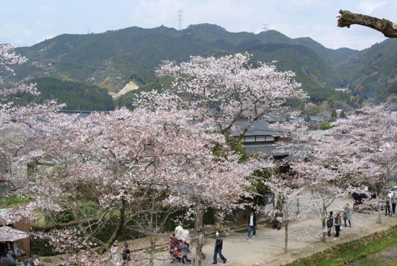 秋月城跡 桜