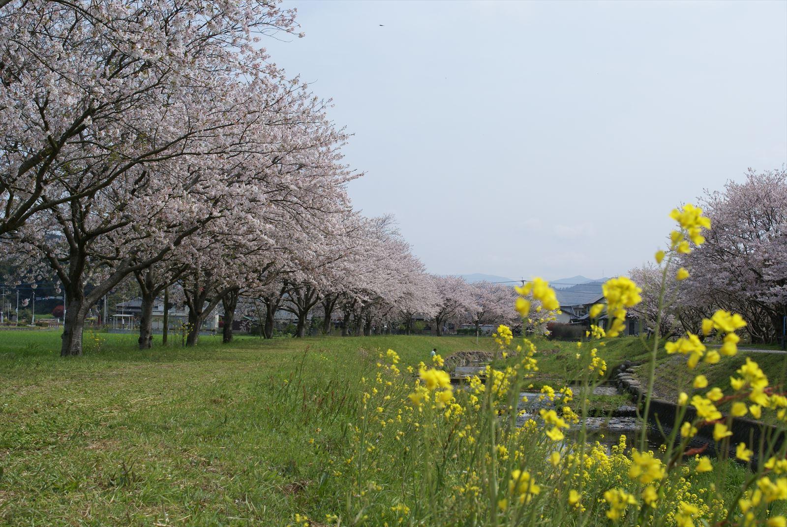 草場川 桜