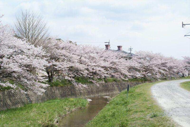 津古駅 桜