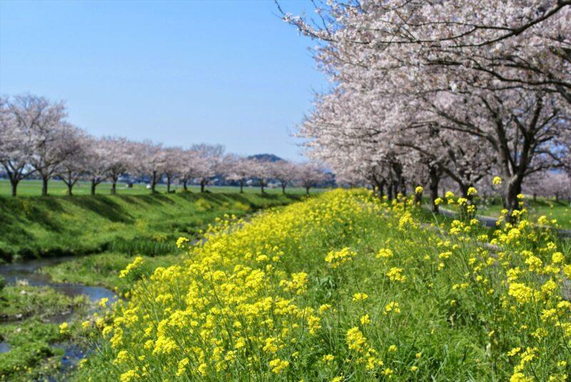 草場川桜並木 菜の花