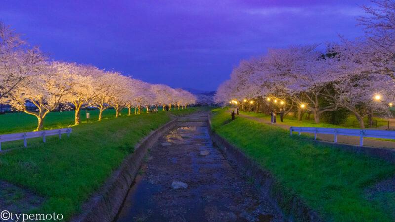 草場川 夜桜 公園横