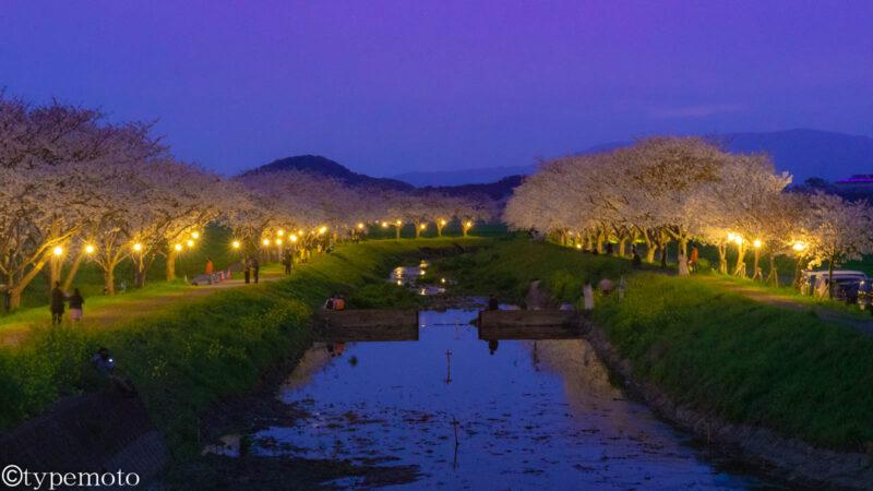 草場川 夜桜