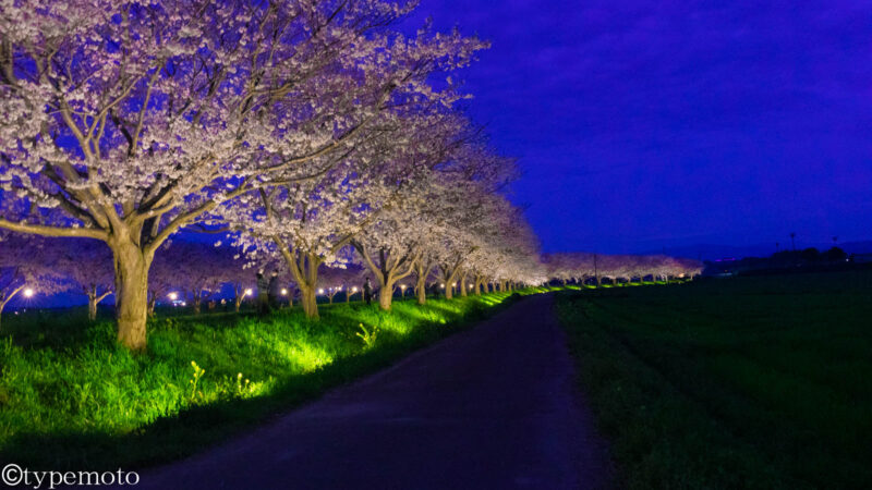 草場川桜並木 夜桜