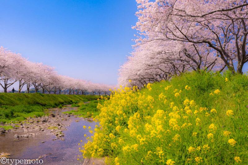 草場川桜並木 菜の花と桜