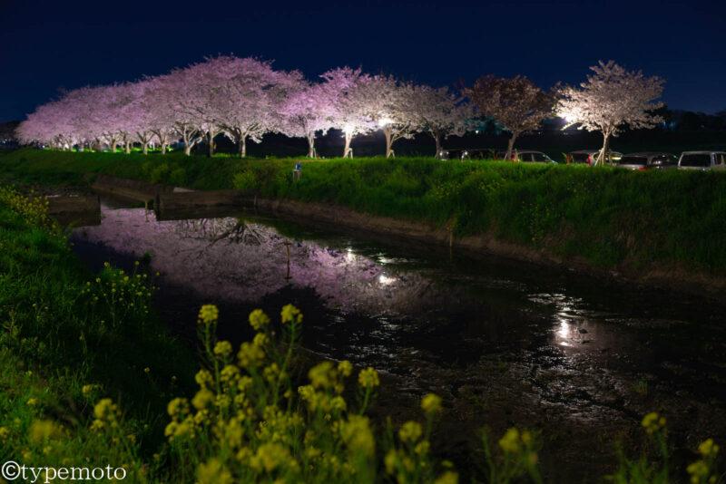 草場川桜並木 夜桜 菜の花 リフレクション